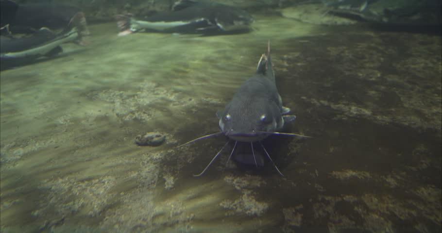 Beluga sturgeon floats in the water. Sturgeon beluga swims in the aquarium. Sturgeon beluga in its entire length.