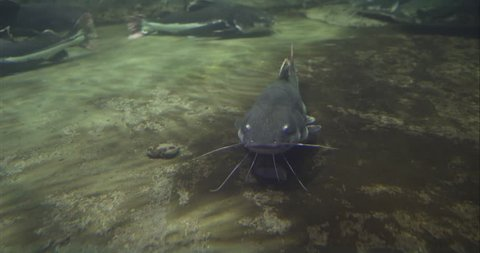 Beluga sturgeon floats in the water. Sturgeon beluga swims in the aquarium. Sturgeon beluga in its entire length.