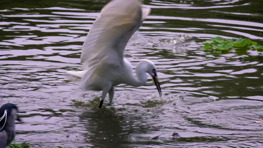 Slow Motion of a white Egretta Garzetta fishing small fish in the water pond. An adult Little egret fished and eat fishes on lake at Daan Forest Park in Taipei city, Taiwan-Dan