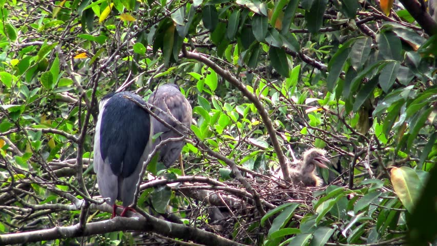 4k, Adults birds Nycticorax nesting in spring. Black-crowned night heron take care the nest and chicks on tree of the lake at the Daan Forest Park in Taipei city, Taiwan-Dan