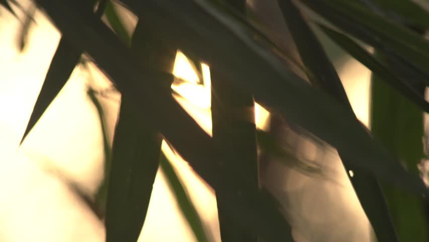 bamboo leaf in the wind sunrise background