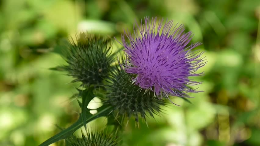 Header of Cirsium