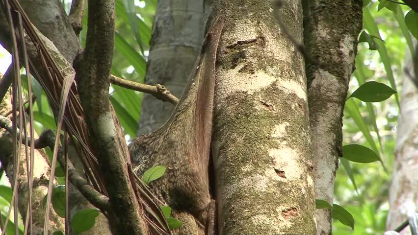 Header of colugo