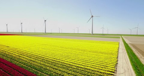 Typical Dutch Wind Wind Mills / Turbines in the sea with Yellow Tulip Field on the Foreground