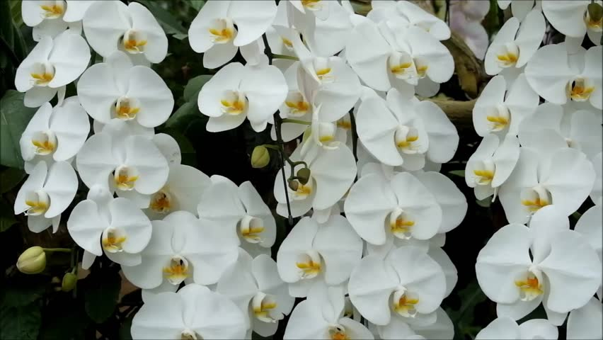 White orchids flower in garden. Flower orchid blooming.