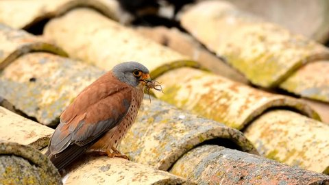Lesser kestrel with an insect in its beak to feed its young.