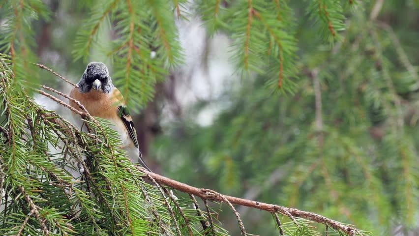 Brambling (Fringilla montifringilla) sitting on a branch in a pine tree.