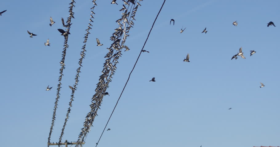 Birds On A Wire, A Flock Of Birds In A Large Swarm | Shutterstock HD Video #1010923454