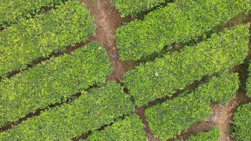 Cinematic tea plantation close up pattern 90degree cam drone