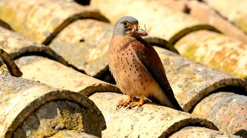 Lesser kestrel male perched on a roof hunting