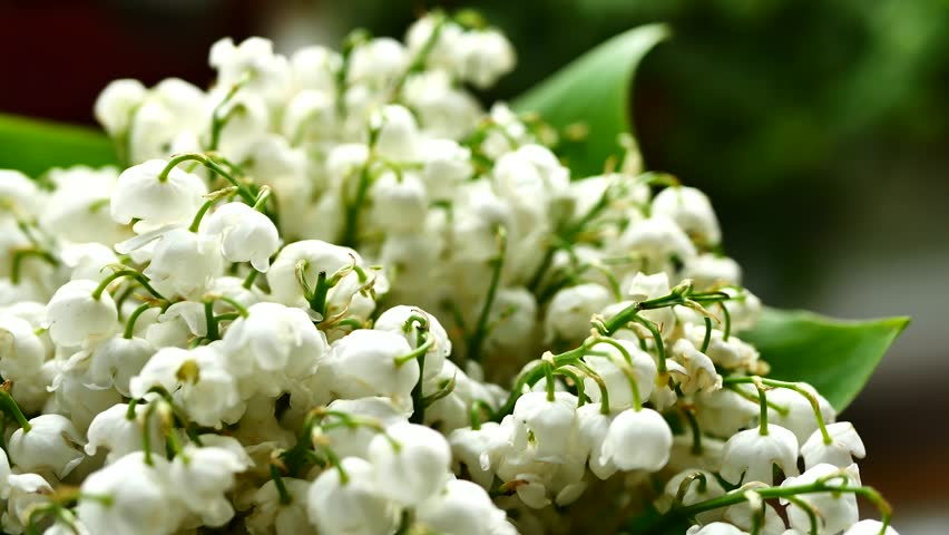 White Lily of the valley bouquet with green leaves. May lily flowers