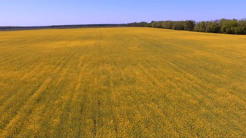 Yellow canola field. Production of biodiesel from rape. Aerial footage