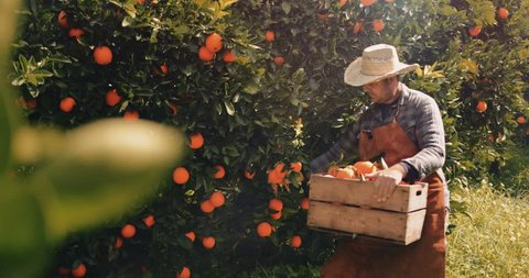 Farmer picking orange fruits from orange trees agricultural orchard in the Mediterranean
