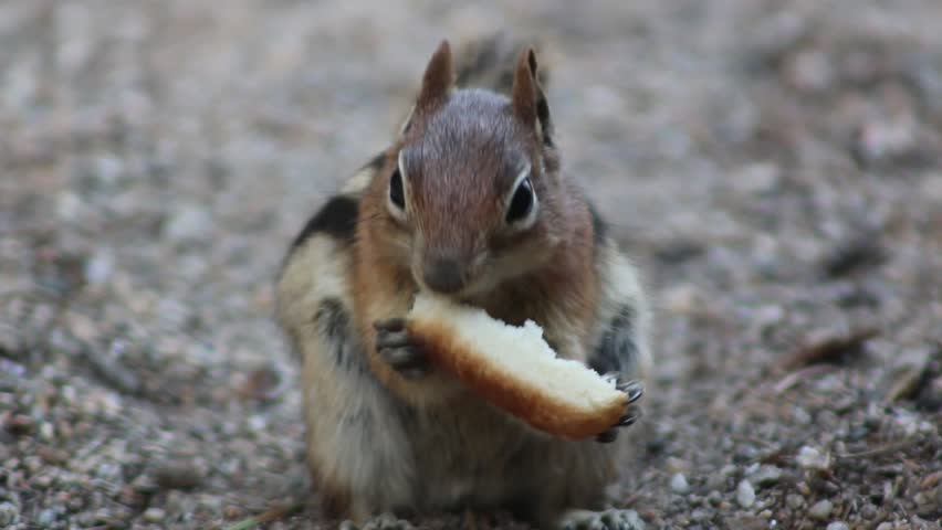 a chipmunk eating...