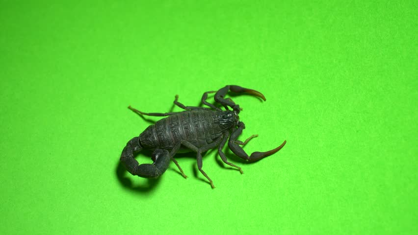 Scorpion walks/sits on green background 4k studio footage #1011156314