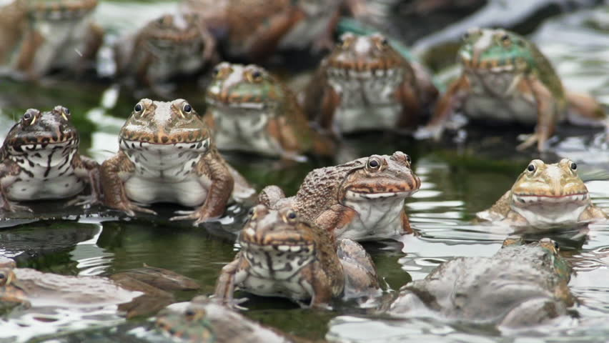 Frog Farm in thailand