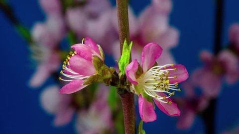 4k macro moving and rotating time lapse video of a pink peach flower growing, blooming and blossoming on a dark blue background/Pink peach flower blossom timelapse
