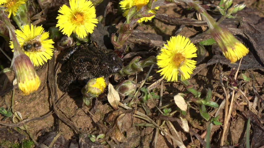 European fire-bellied toad Bombina  in early spring near  coltsfoot