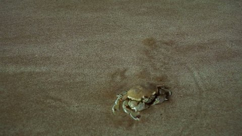 The Floating crab (Macropipus holsatus) quickly moves on the sandy beach in the UAE.