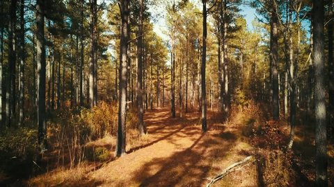 A slow drone shot through a pine forest in South Carolina.