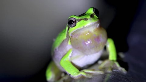 european green tree frog, Hyla arborea, resting by day, croaking by night in the wild in a cyprus garden.