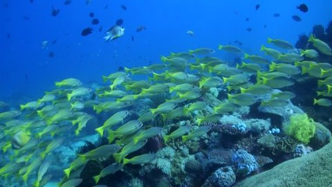 Yellowtail Snappers (Ocyurus chrysurus) Schooling over Coral Reef - Philippines