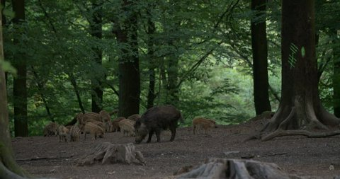 Group of wild boars with young piglets finding food in a forest