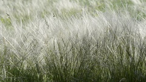 natural grass of the feather-grass sways with a gentle warm wind, the steppe on a sunny day. Ukraine. Europe.