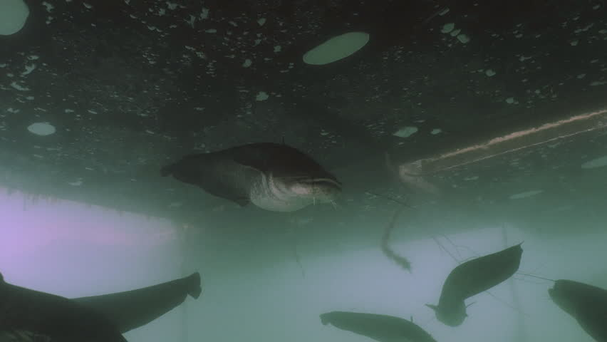Group of giant Wels Catfish swimming together, underwater clip