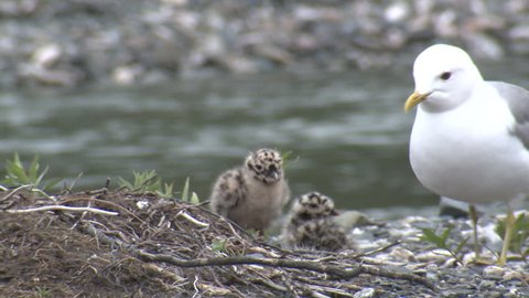 Mew Gull Adult Chicks Young Brood Nesting in Summer in Alaska