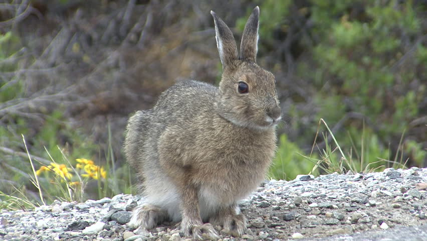 Snowshoe Hare Adult Lone Eating Grazing in Summer in Alaska