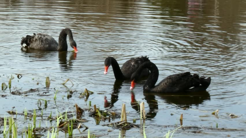 A flock of black swan swims in the summer on the mirror surface of the pond in the park in search of food. Birds in the wild nature. | Shutterstock HD Video #1011392654