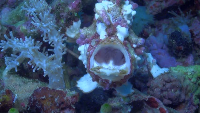 White and Red Warty Frogfish / Clown Anglerfish (Antennarius maculatus) Yawning