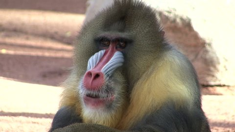 Mandrill Male Adult Lone in Winter Face