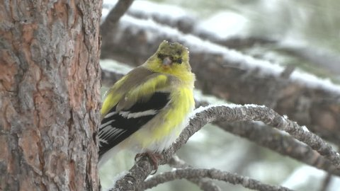 Goldfinch Male Adult Lone Perched Flying in Winter Snow Snowing in South Dakota