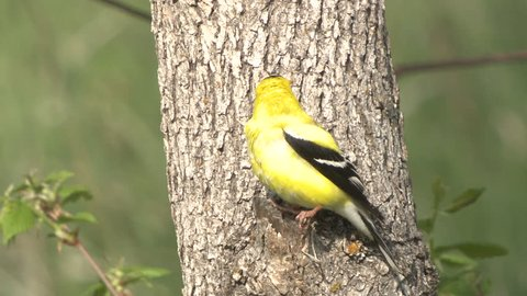 Goldfinch Male Lone Perched Flying in Spring in South Dakota