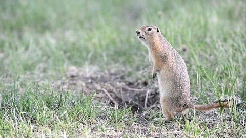 Screaming gopher (ground squirrel).