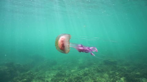 A jellyfish Pelagia noctiluca underwater in the Mediterranean sea, natural light, Cote d'Azur, France, 60fps
