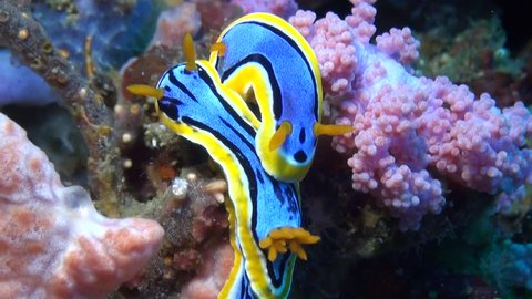 Pair of Chromodoris Annae Nudibranchs on Soft Coral - Macro Shot
