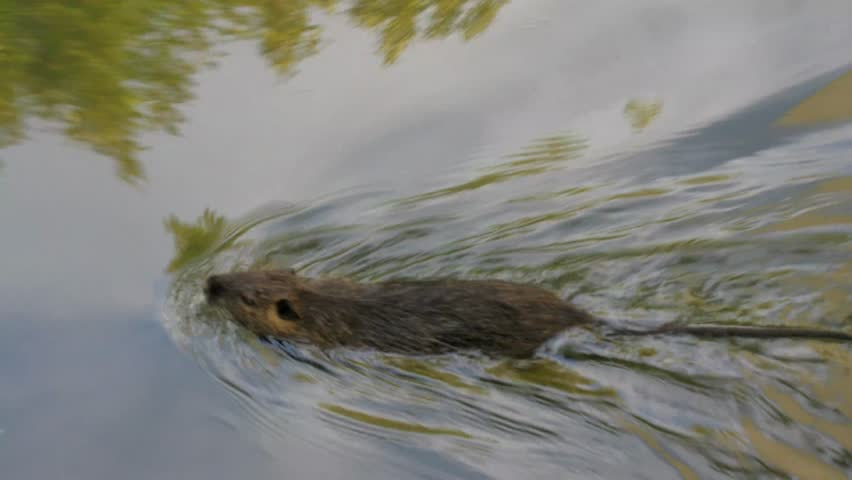Nutria floating in the water in the channel, search for food. Wild nutria inhabit ponds and rivers (reservoirs with low-flow or stagnant water) of Europe, Small animal swims. France