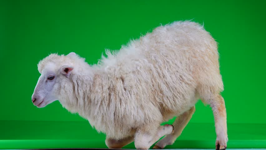 Sheep on her lap on a green screen   Shutterstock HD Video #1011465404