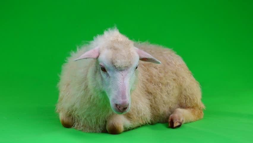A sheep lies on a green screen   Shutterstock HD Video #1011465644