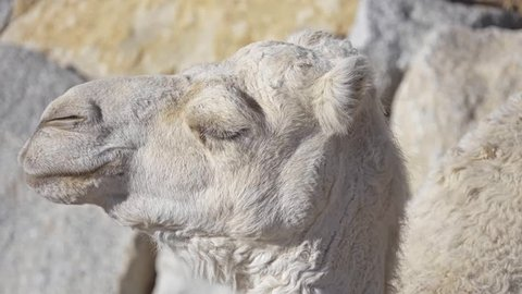 Dromedary, also called Arabian camel (Camelus dromedarius), is large, even-toed ungulate with one hump on its back. Dromedary is smallest of three species of camel.