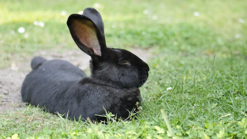 A flemish giant rabbits is resting   Shutterstock HD Video #1011467714