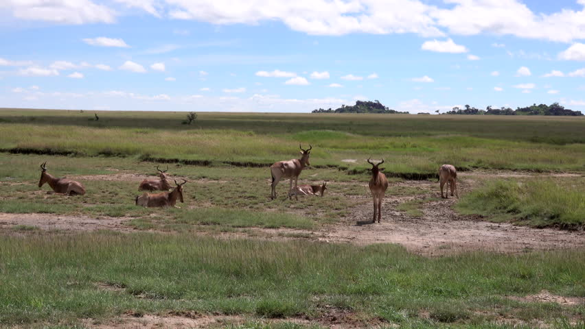 Antelopes, Thomson Gazelle herd with young Baby, Serengeti, Tanzania   Shutterstock HD Video #1011468974