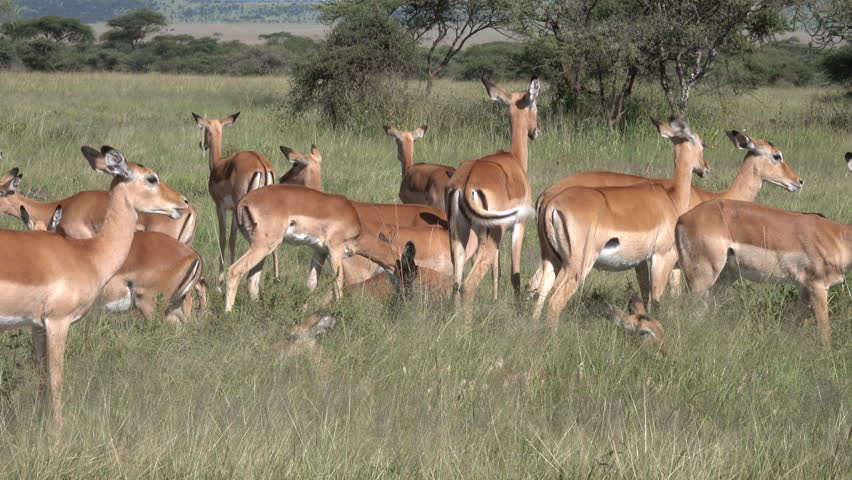 Impala, Herd of Impala, Serengeti, Tanzania, Africa   Shutterstock HD Video #1011469034