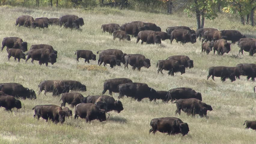 Bison Adult Calf Young Herd Walking in Fall Migrating Migration in South Dakota