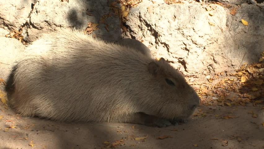 Capybara Lone Sleeping Resting   Shutterstock HD Video #1011480704
