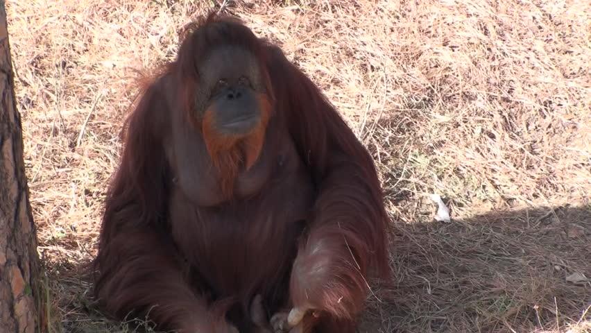 Orangutan Young Lone Resting   Shutterstock HD Video #1011482414
