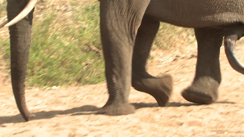 African Elephant Bull Male Adult Lone Walking Dry Season Feet Legs Penis in South Africa